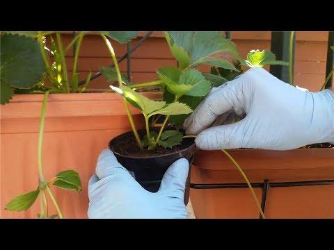 Moltiplicare le piante di fragole in vaso youtube for Fragole piante in vaso
