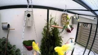 Fallow and TCB Budgies Aviary # Best Budgies Setup In Pakistan