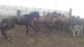 Бой лошадей  Тайван против  лязгана