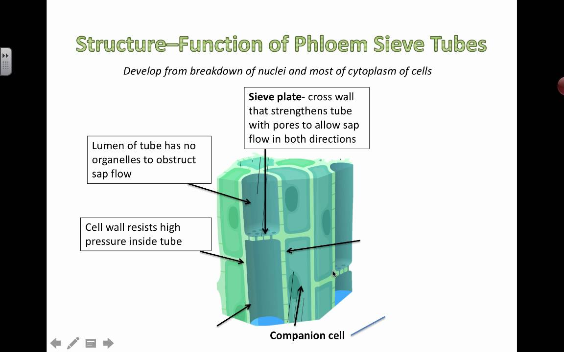 small resolution of phloem diagram