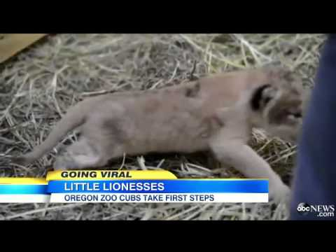 Two Lion Cubs Born at Oregon Zo