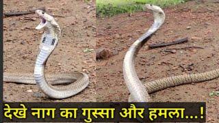 || गुस्सैल नाग कैसे हमला करता है.. || Indian spectacled cobra : Venomous || video : Prashanth S. ||