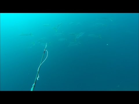 GATKU Polespear - Potential World Record Breaking Yellowtail and a 500lb Bull Sealion - Part 1