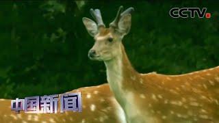 """[中国新闻] 江西九江:红外相机捕捉到""""五鹿同框""""珍贵画面   CCTV中文国际"""