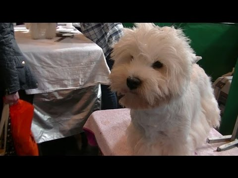 West Highland White Terrier in Crufts 2017 B
