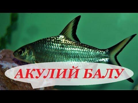 Акулий Балу содержание в аквариуме, совместимость, размножение