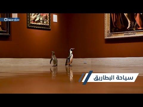 البطاريق تعيش عصرها الذهبي في ظل الحجر الصحي  - 13:59-2020 / 5 / 21