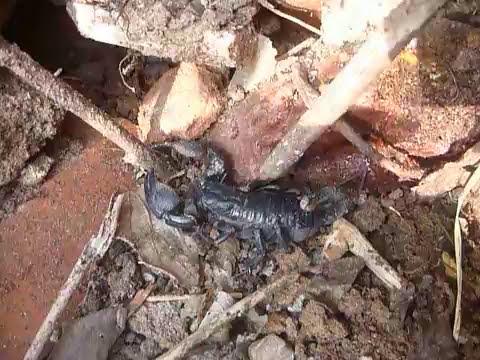 Sri Lanka,ශ්රී ලංකා,Ceylon,Scorpion close-up (02)