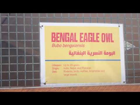 41 Accipiter badius Shikra hawk Emirates Zoo Abu Dhabi 2018