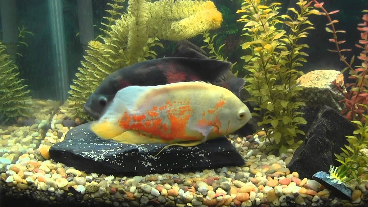 Oscar Fish Laying Eggs While Male Fertilizes Them - See ...