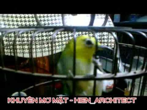hoang khuyen, khuyen mo, chim vanh khuyen, hoàng khuyên, khuyên mơ, chim khuyên của Hien Archtect