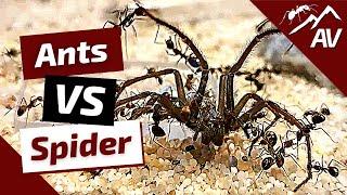 Camponotus Nicobarensis Ants VS Big Spider (Ant Wars)
