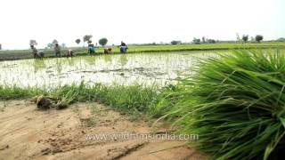 Rice fields being prepared by farmers with bundles of paddy saplings ready for plantation