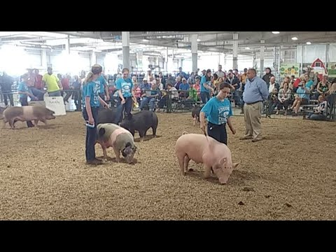 2017 Lancaster County Super Fair - 4-H & FFA Swine Show (beginning of show)