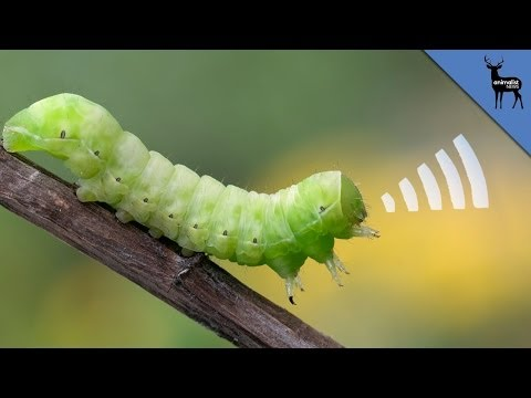 This Squeaking Caterpillar is ADORABLE