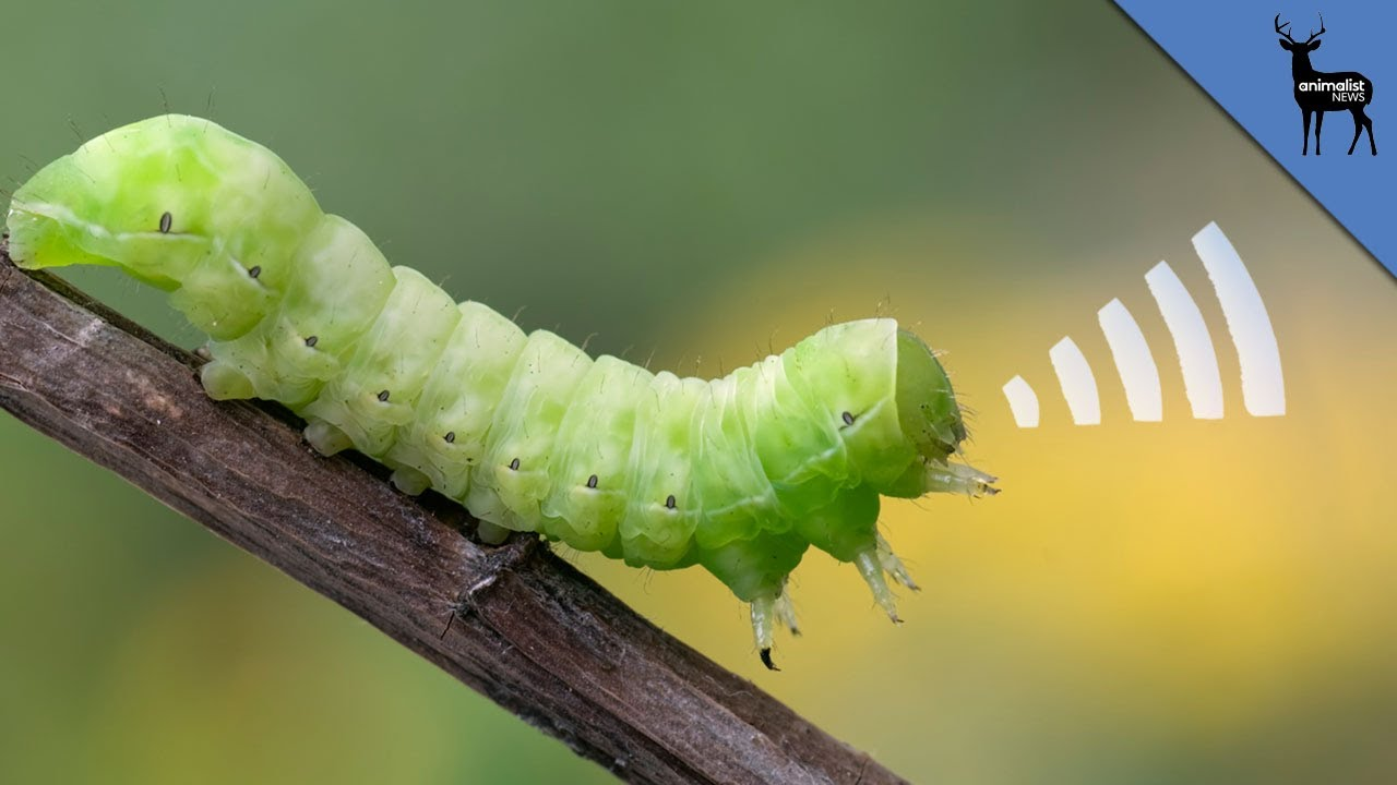 this squeaking caterpillar is adorable youtube