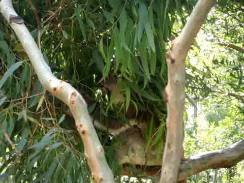 Koala Beim Essen Youtube