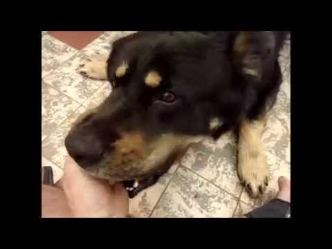 attaque d'un chien sauvage - YouTube