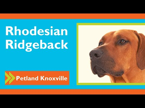 Rhodesian Ridgeback Fun Facts