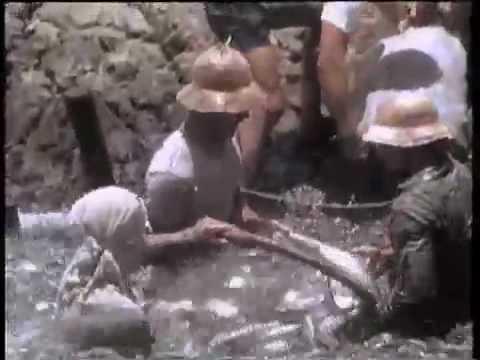 Chanidés en captivité (1986)