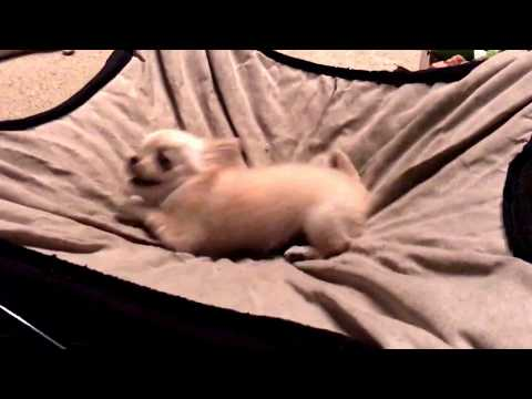 Watch what happens when you tell a teeny tiny chihuahua puppy it's time to go to bed..