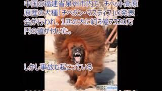 まるでフェンリル!?ゲームに出てくる獣みたいな大型犬【チベタン・マ...