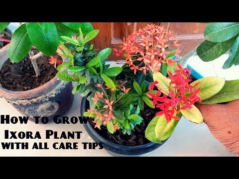 How to Care Ixora Plant   Summer Flowering Plants  how to grow ixora in pots