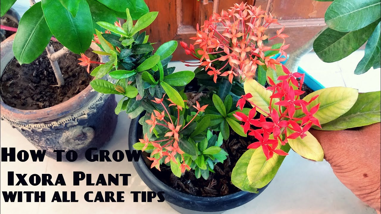 Image result for growing techniques of Ixora coccinea