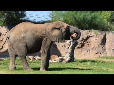 Watermelon Wednesday at Reid Park Zoo. Expedition Tanzania-The Elephants