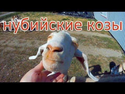 Вопрос: Что за порода коз Бурская, какие характеристики?