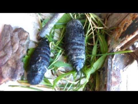 Saturniidae pupae