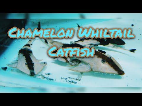Chameleon Whiptail Catfish