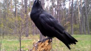Огромный ворон (ворона) ручной в лесу один без присмотра