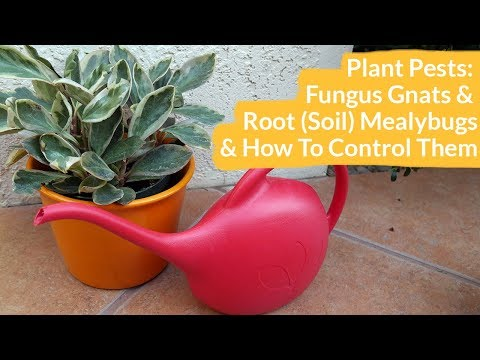 Plant Pests: Fungus Gnats & Root (Soil) Mealybugs & How to Control Them / Joy Us Garden - 동영상