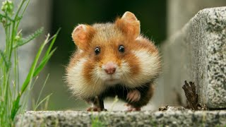 Adorable wild hamster stuffs in more than he can chew! | Seven Worlds, One Planet | BBC Earth