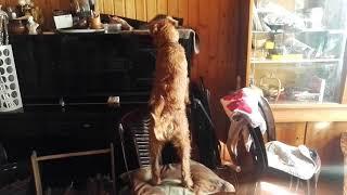Шла собака по роялю...
