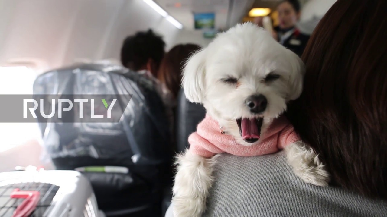 Japan japan airlines offers a pet friendly plane for dog for Airlines that allow dogs in cabin