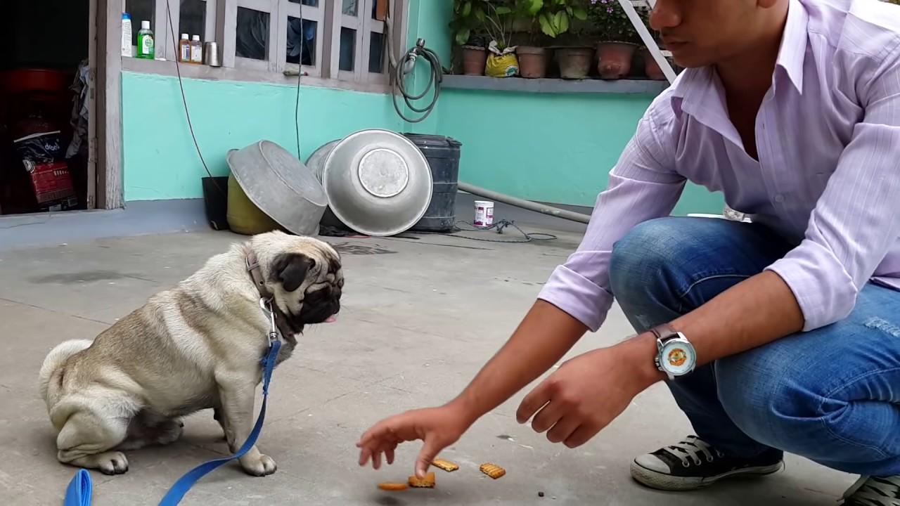 Pugs Training