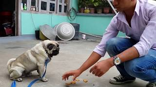 complete pug training