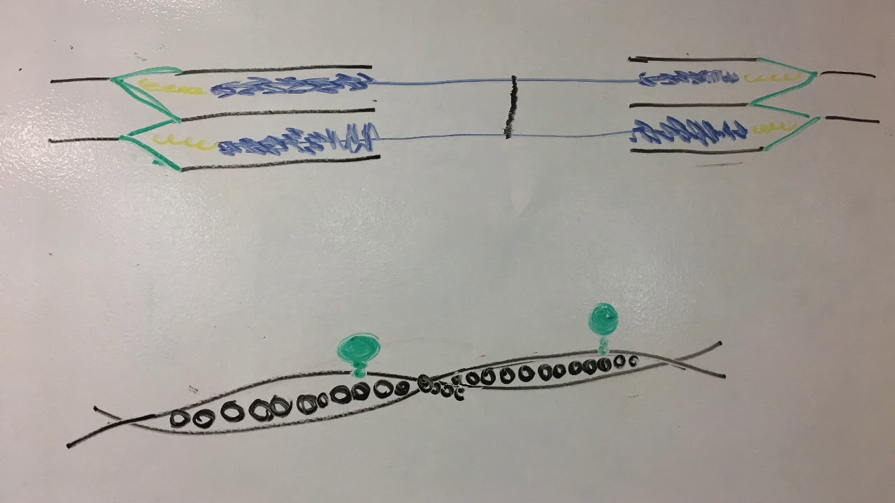 (school project) muscle contraction stop motion animation