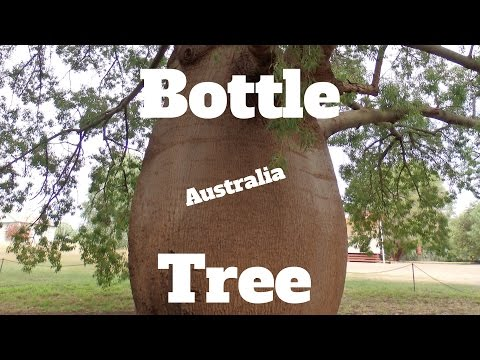 Growing a Bottle Tree from Australia