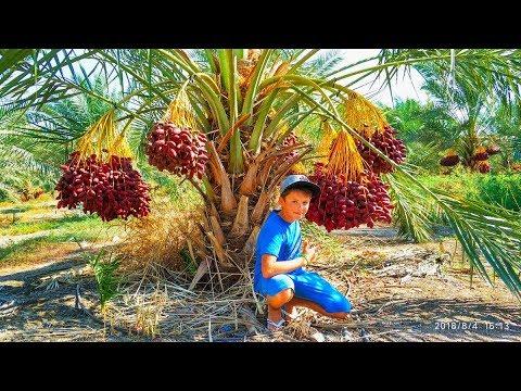Как растут финики. Финиковая плантация. Израиль. How dates grow. Dates palm. Israel