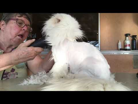 Shaving A Persian Cat Tranquility Himalayans