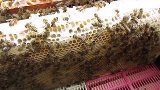 главный медосбор    подстановка вощины в медовые магазины