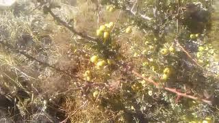 Alıç ağacı meyvesinin alıç meyvesinin sirkesi faydaları alıç meyvesinin çayının faydaları yararları