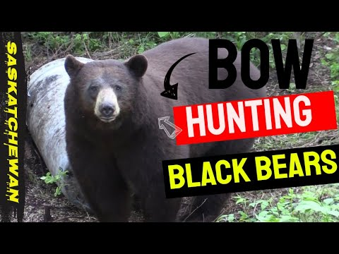 Bow Hunting Black Bears// Giant Color Phase Bear Goes Down