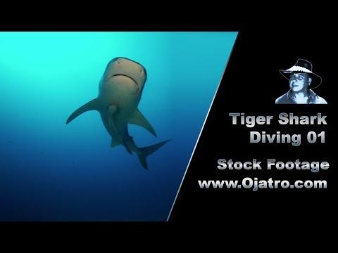 Tiger Shark Diving 01 Footage