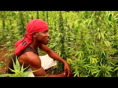 The Jamaica Scene ~ Roaring River Ganja Field Adventure