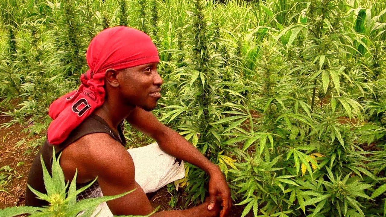 Ямайка конопля употребления лучше способы марихуаны какой