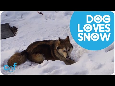 Husky Plays in Snow | Do You Want to Build a Snowman?